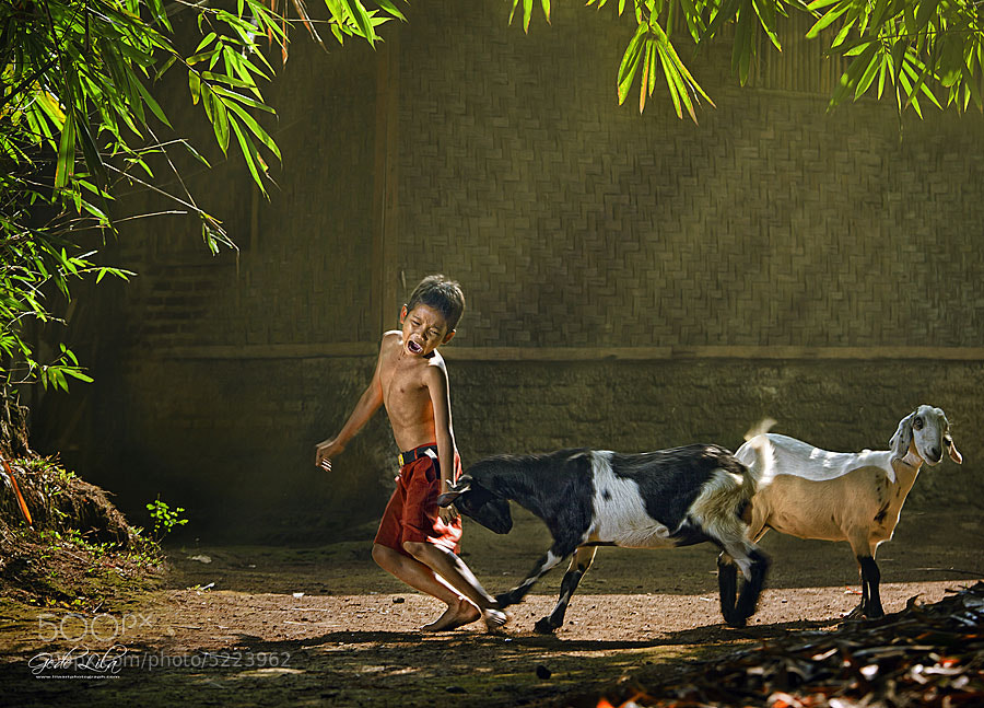 Goat Ramming by I Gede Lila Kantiana (gedelila)) on 500px.com