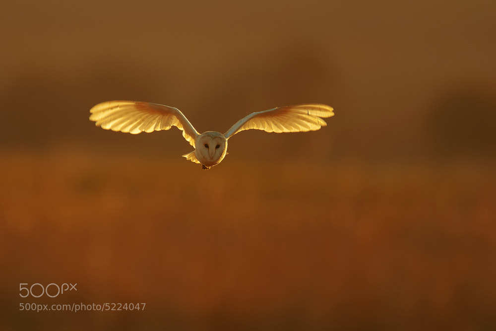 Photograph Barn Owl Tyto alba by Nigel  Pye on 500px