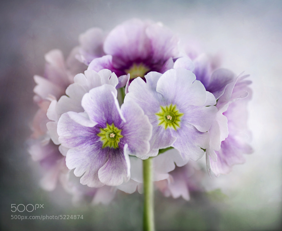 Photograph Primula posy by Mandy Disher on 500px