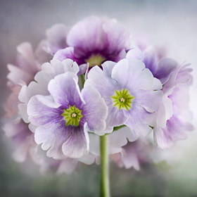 Primula posy by Mandy Disher (MandyDisher)) on 500px.com