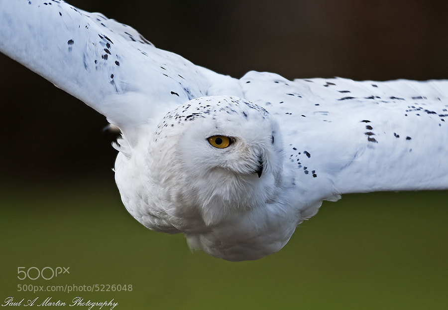 Snowy Owl by Paul Martin (martipa)) on 500px.com