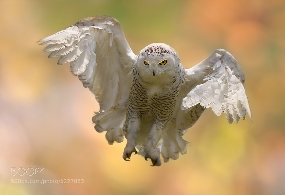 Photograph Snowy Owl by Stefano Ronchi on 500px