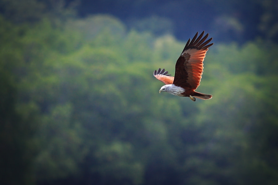 Photograph Mighty eagle by Tuan Zhariff Zakaria on 500px