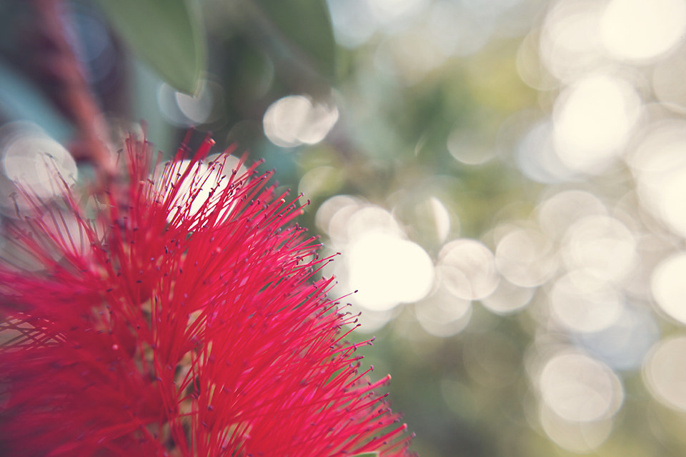 Photograph bottlebrush bokeh by Judith Doubell on 500px