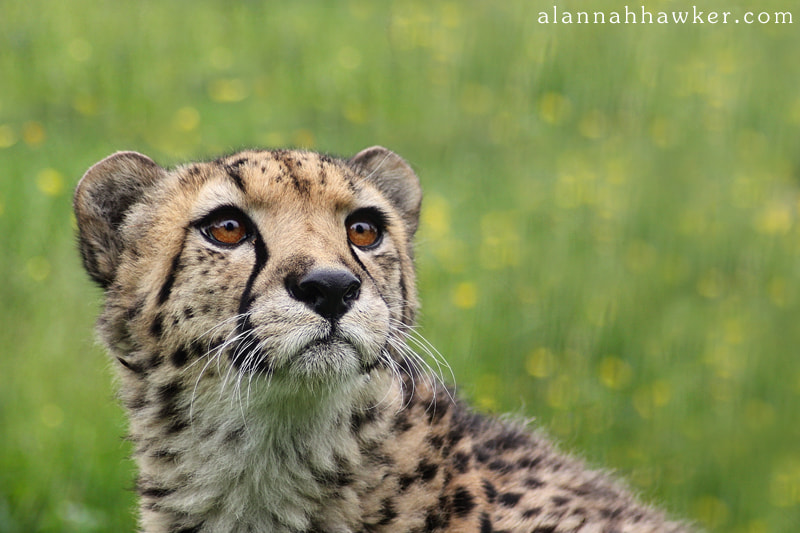 Photograph Cheetah by Alannah Hawker on 500px