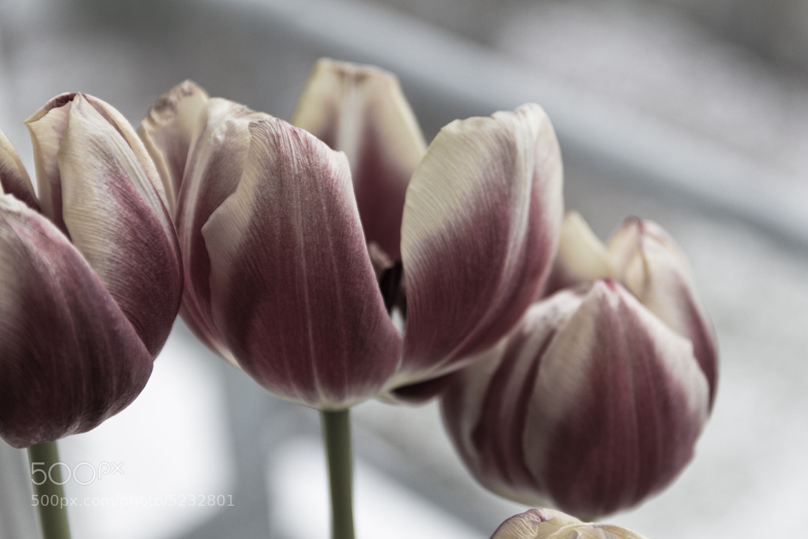 Photograph Tulips by Laurent Meister on 500px