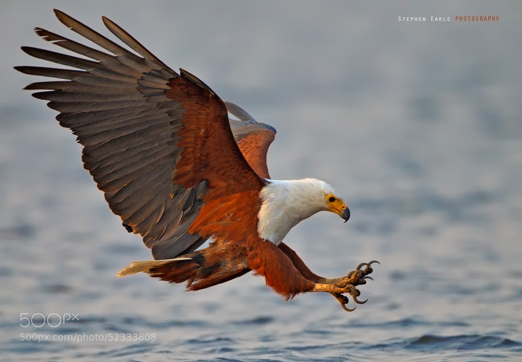 Photograph Fish Eagle by Stephen Earle on 500px