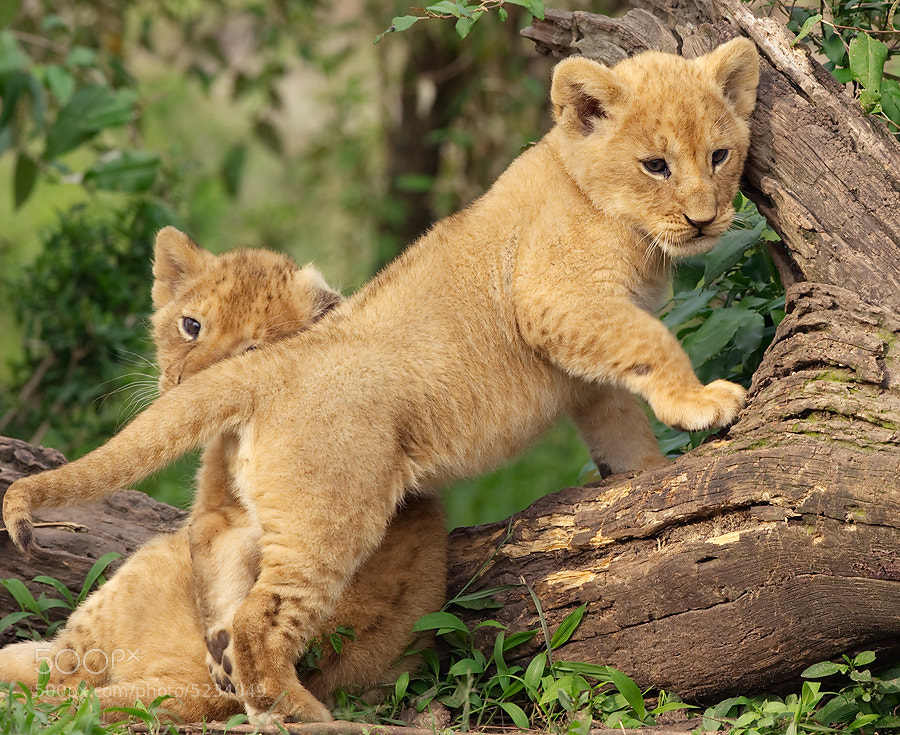 Photograph Lion Cubs by Dean Tatooles on 500px