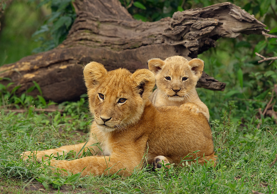 Photograph Lion Cubs by Dean Tatooles on 500px