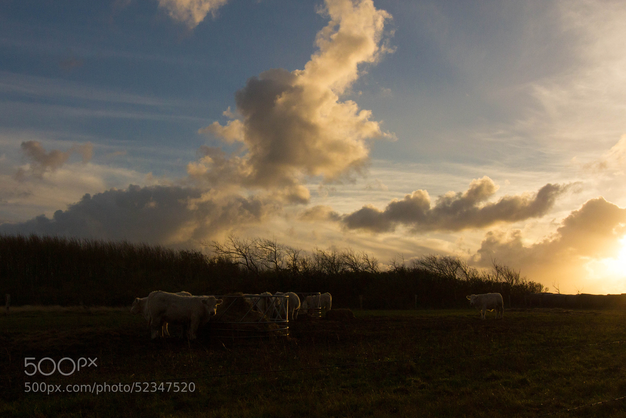 Photograph Mooncows in Sylt by Heike Kitzig on 500px
