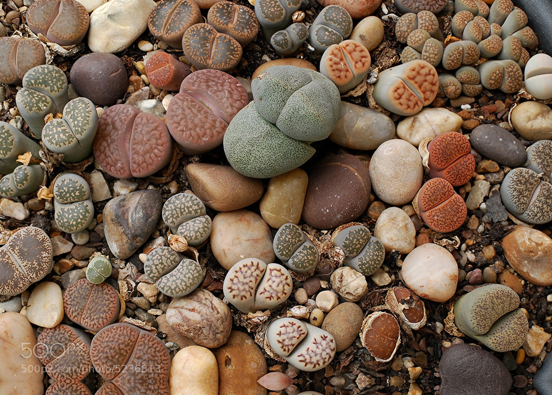Photograph Stone plants by John Robinson on 500px