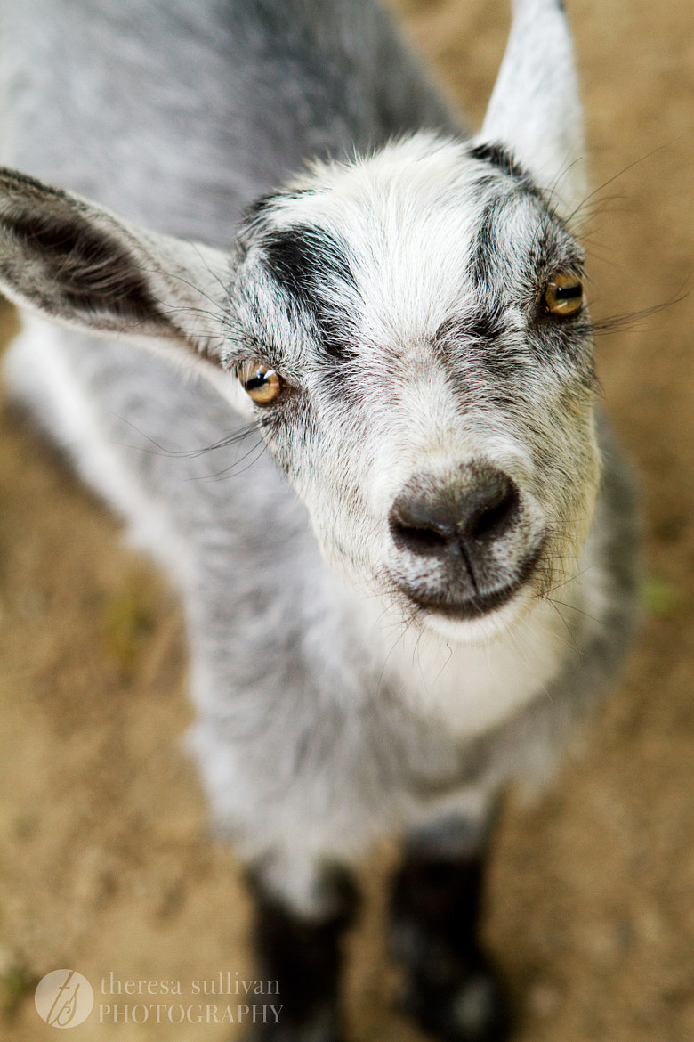 Photograph Baby Goat by Theresa Sullivan on 500px
