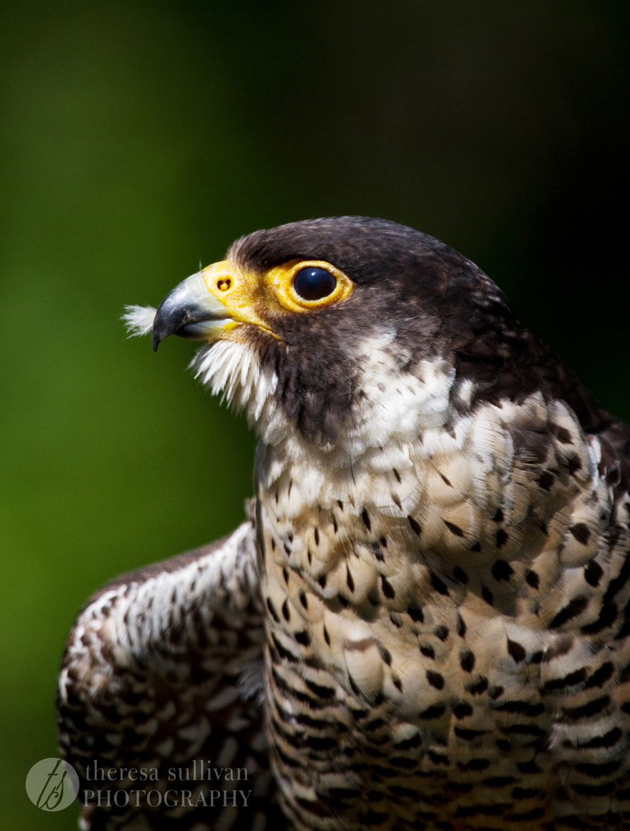 Photograph Peregrine Falcon, Up Close by Theresa Sullivan on 500px