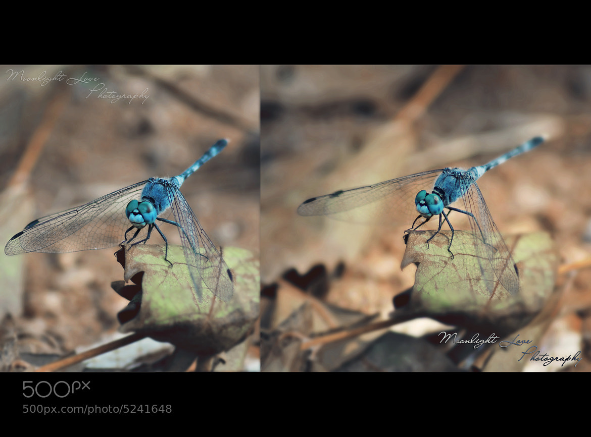 Photograph blue dragonfly by Chandni Dua on 500px
