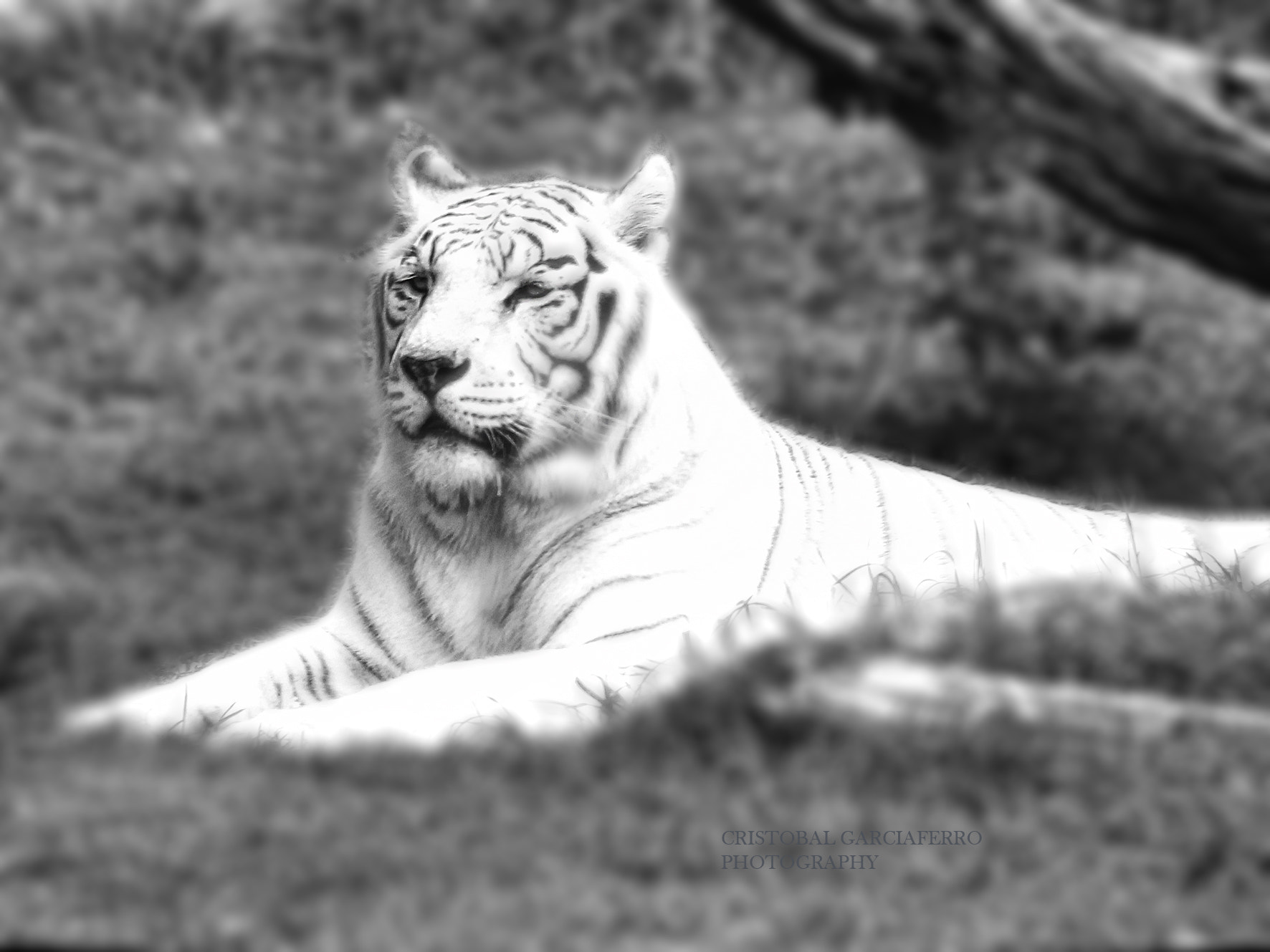 Photograph White Tiger by Cristobal Garciaferro Rubio on 500px