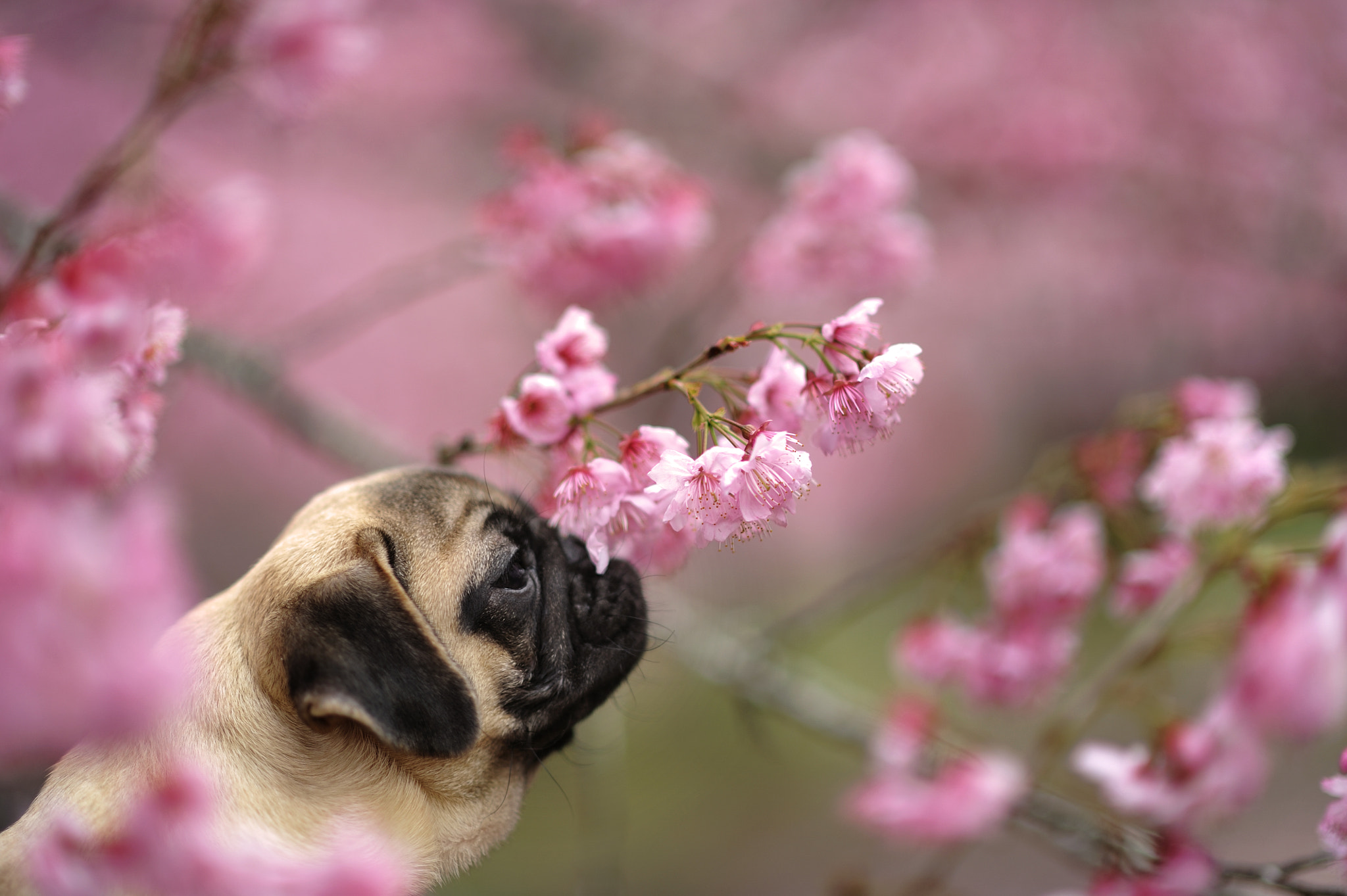 Photograph SAKURA PUG by Lu Donfer on 500px