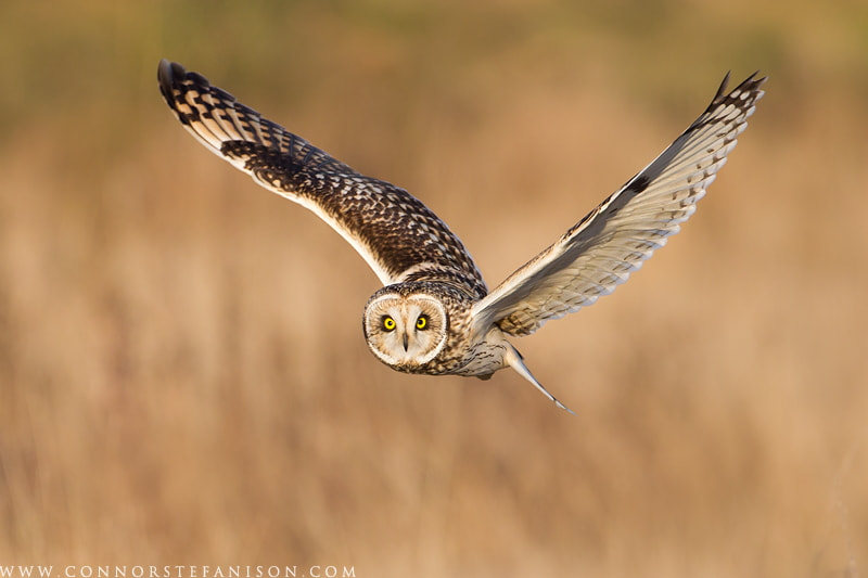Photograph Short-eared Owl by Connor Stefanison on 500px
