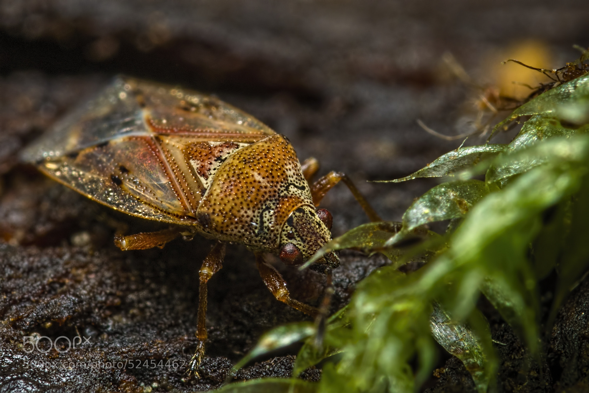 Photograph Shield bug baby by K. Beck on 500px