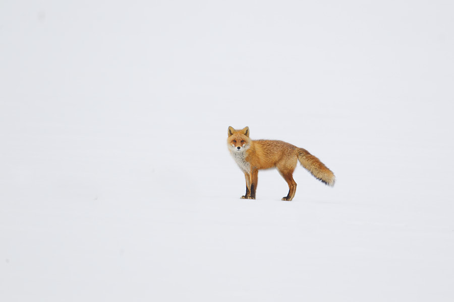 Photograph Fox in Snow by Peter Edge on 500px