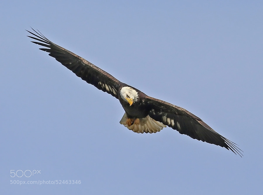 An American Bald Eagle scans the Susquehanna River for its next meal.