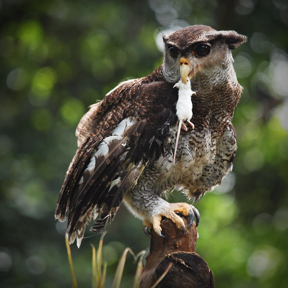 Photograph Bubo Sumatranus by Irawan Subingar on 500px