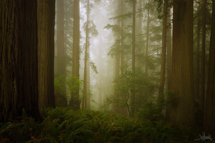 "Photograph Endor Redwoods by TJ ""TJ Thorne"" Thorne on 500px"