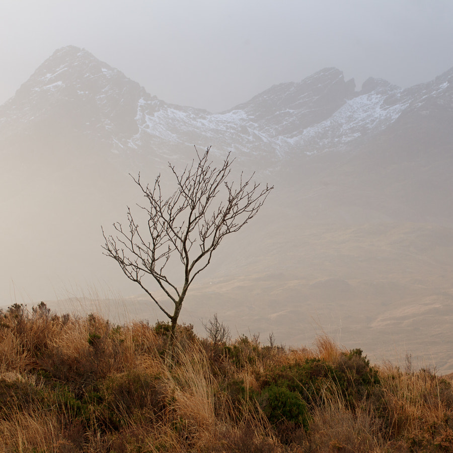 Wind swept tree in the highlands of Skye, Scotland. The Cuillins on the background visible through the rain shower.