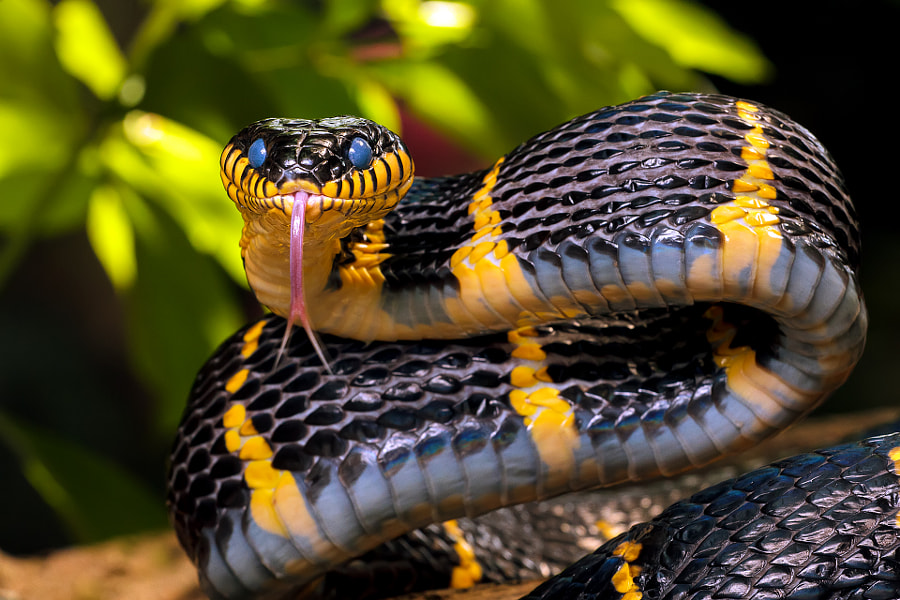 Photograph Mangrove Snake by Dmitry Volochai on 500px