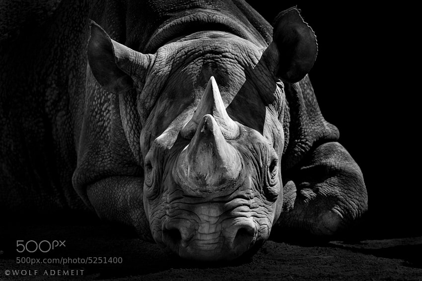 Photograph RHINO by Wolf Ademeit on 500px