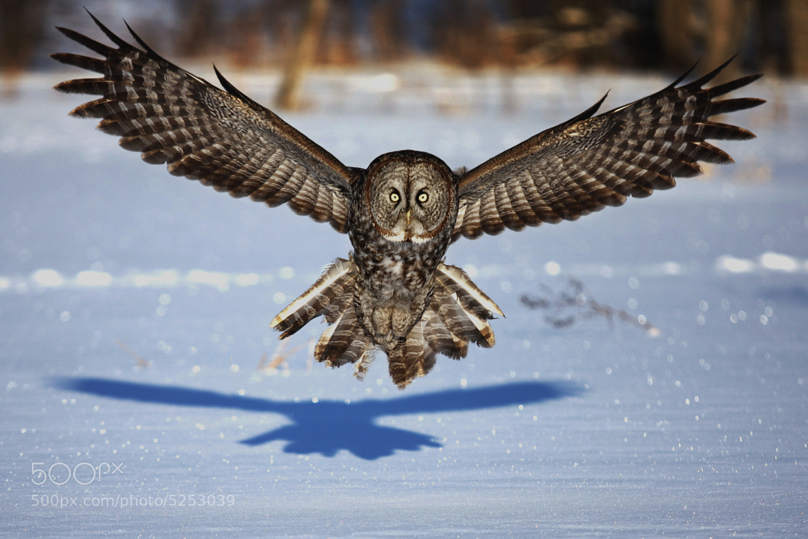 Photograph Great Gray Owl - In your Face by Jim Cumming on 500px