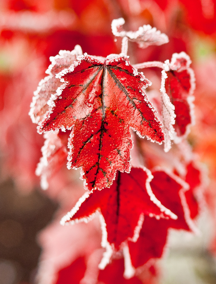 Photograph Frosted Red by Chris Fenison on 500px