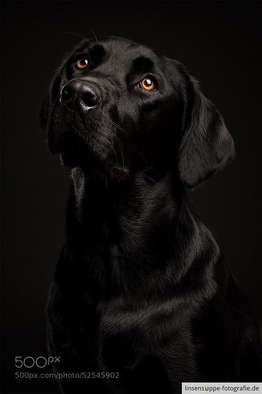 Photograph Black Labrador on Black Backgrund by linsensuppe -  fotografie on 500px