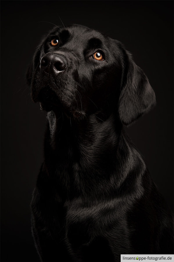 Black Labrador on Black Backgrund by linsensuppe -  fotografie on 500px.com