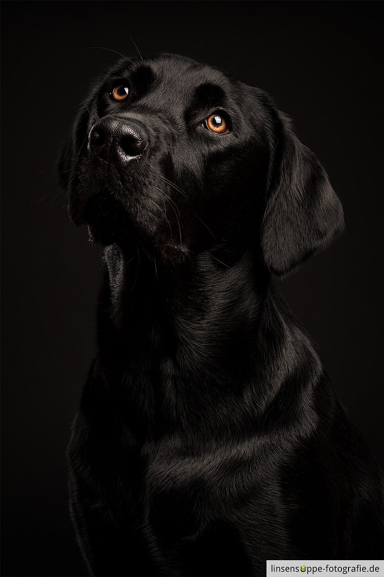 Photograph Black Labrador on Black Backgrund by linsensuppe -  fotografie on 500px