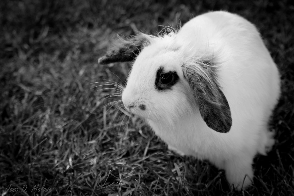 Photograph Pet Rabbit in Rota, Spain by Jose Malave on 500px