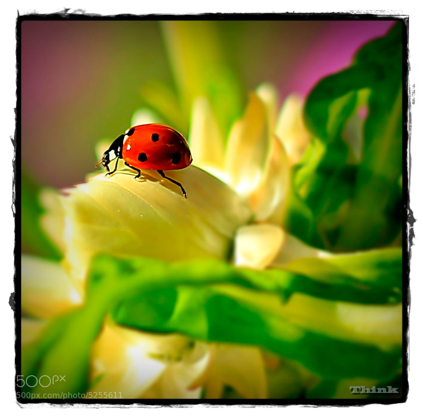 Photograph Ladybug in garden by Jose Malave on 500px