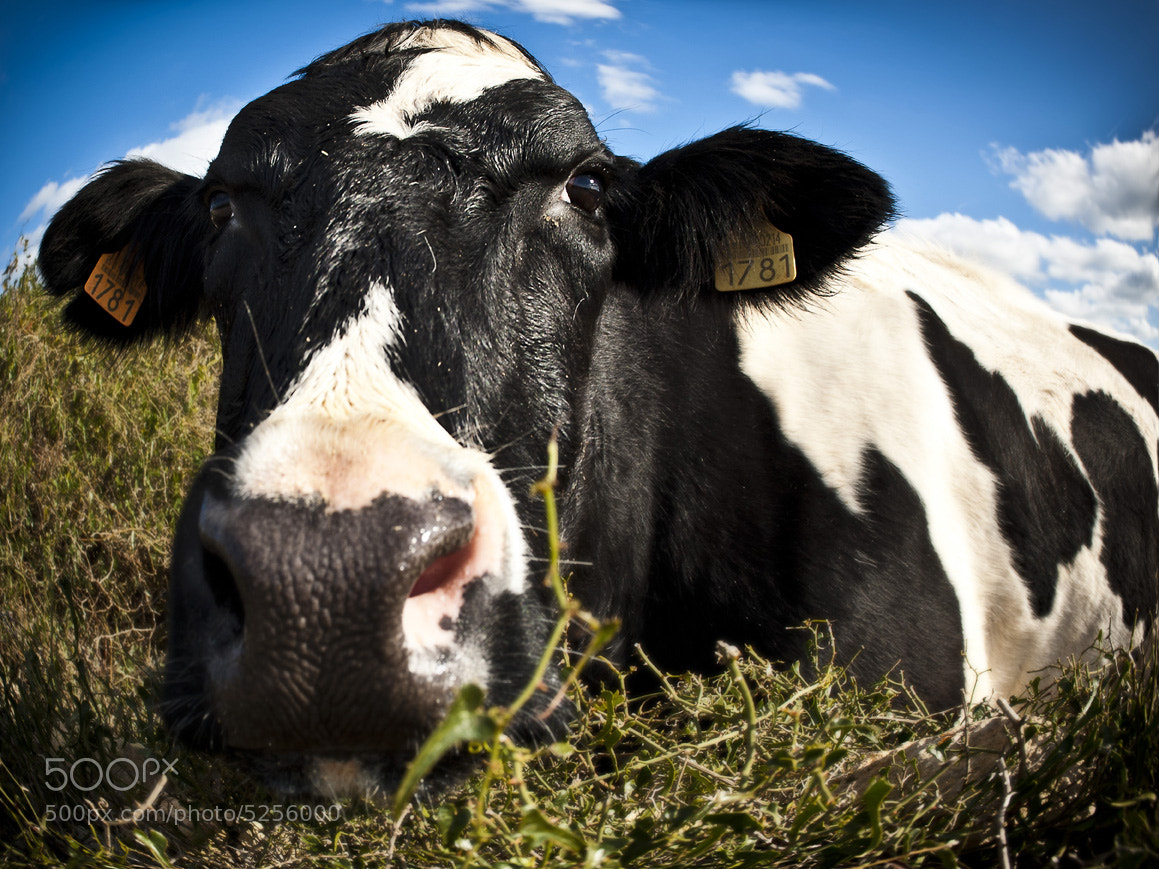 Photograph A cow on my way by xavi cardell on 500px