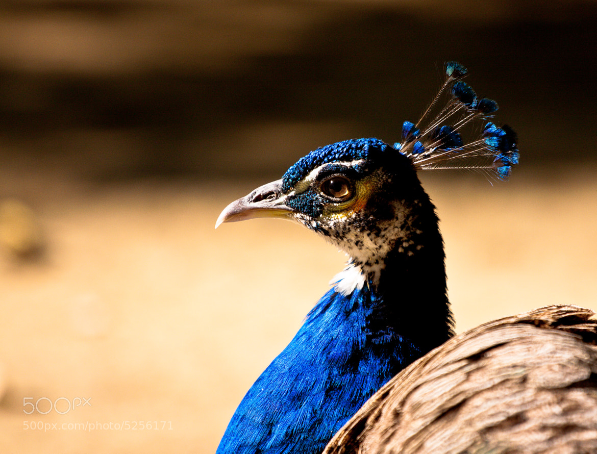 Photograph Peacock by Jose Malave on 500px
