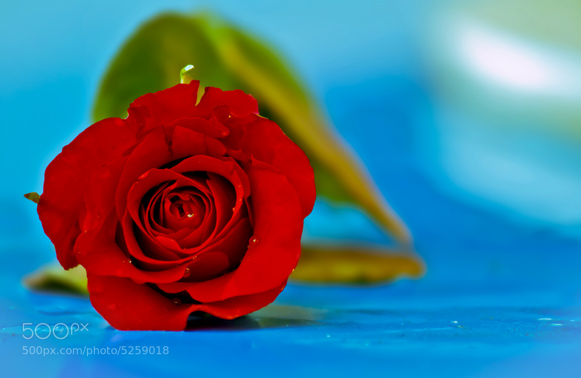 Photograph Red Rose by Jayant Dharmadhikari on 500px