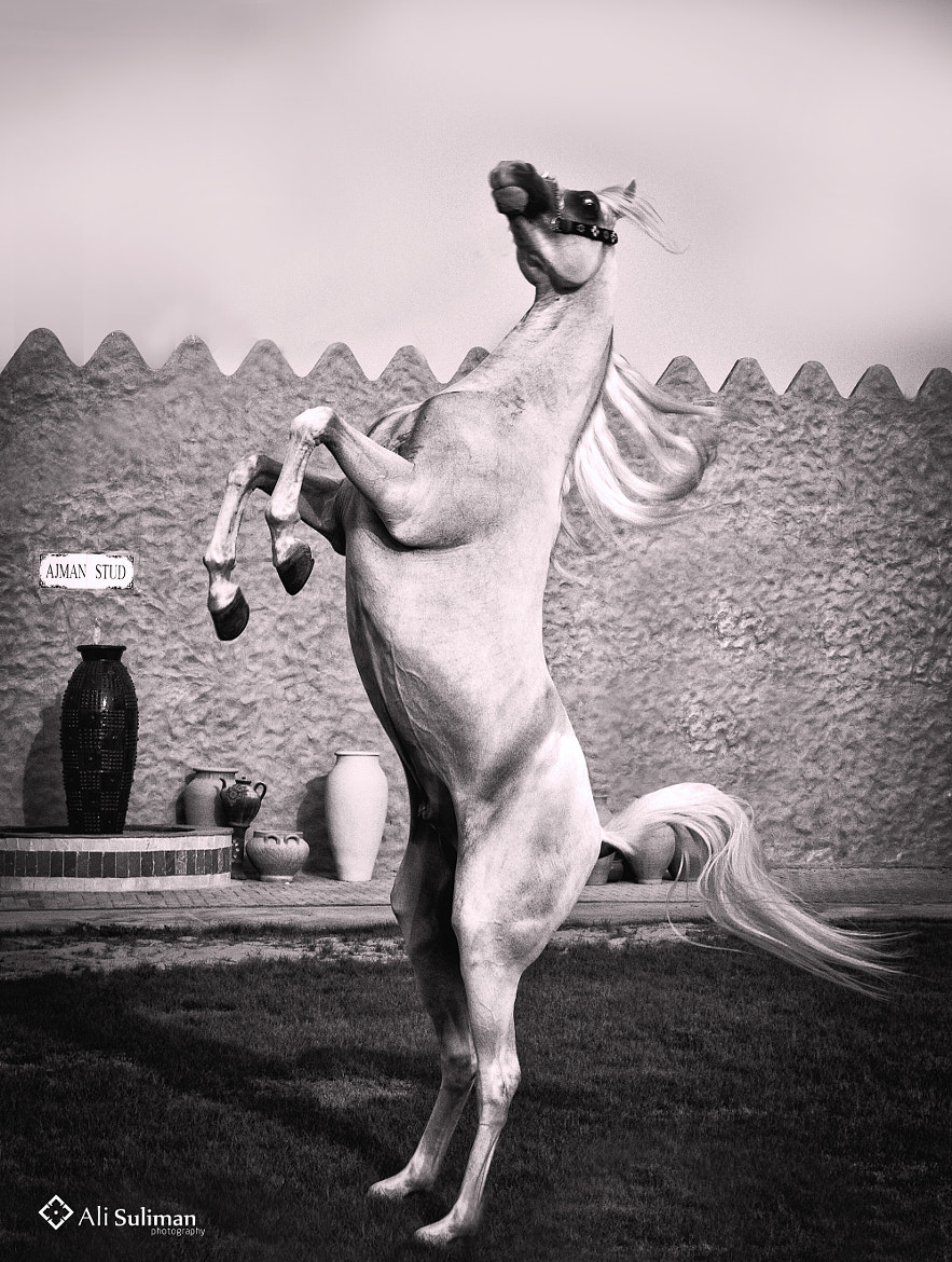 Photograph Arabic horse by Ali Suliman on 500px