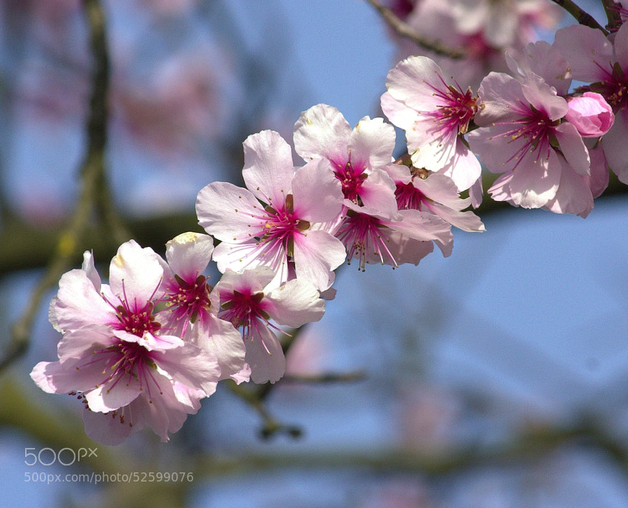 Photograph Cherry Blossom by Chrissie Barrow on 500px