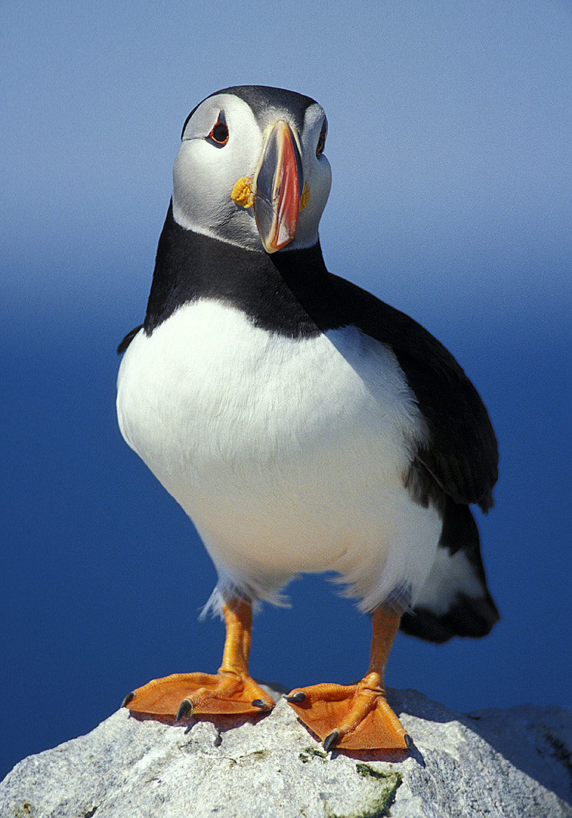 Photograph Atlantic Puffin by Jerry Monkman on 500px