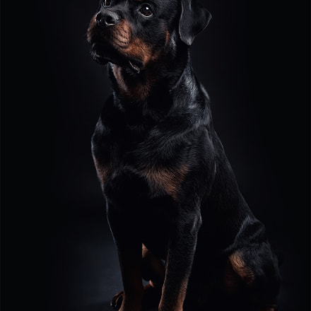 rottweiler on black background