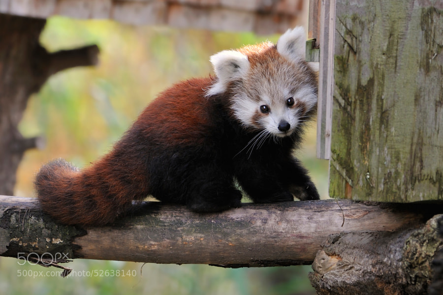 Photograph Curious Red Panda Baby by Josef Gelernter on 500px