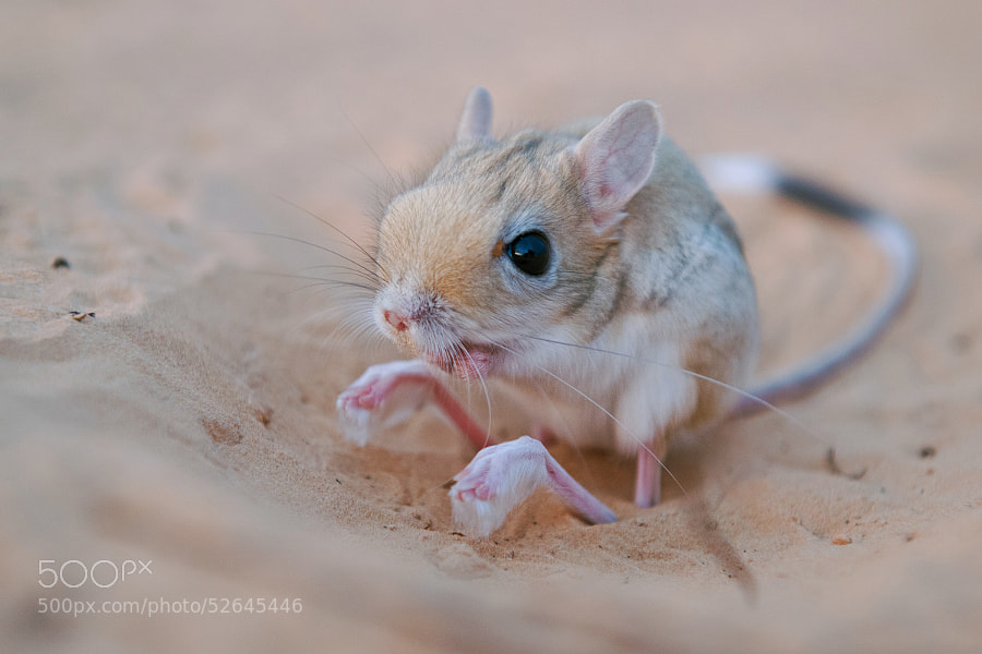 weird animals -Photograph Jerboa by Stefan Cruysberghs on 500px