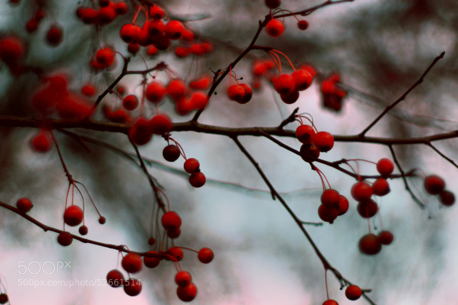 Crab Apple Tree in November (4) by Jeff Carter on 500px.com