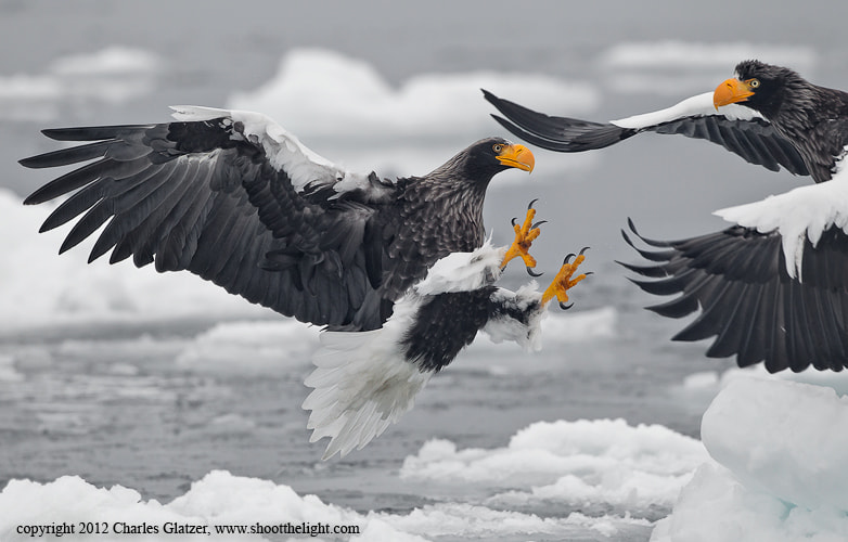 Photograph Steller's Sea Eagle by Charles Glatzer on 500px