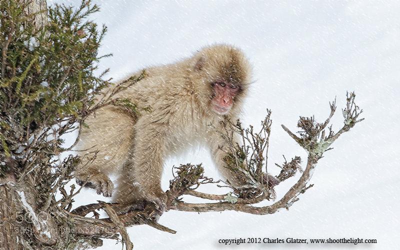 Photograph Snow Monkey, Japan by Charles Glatzer on 500px