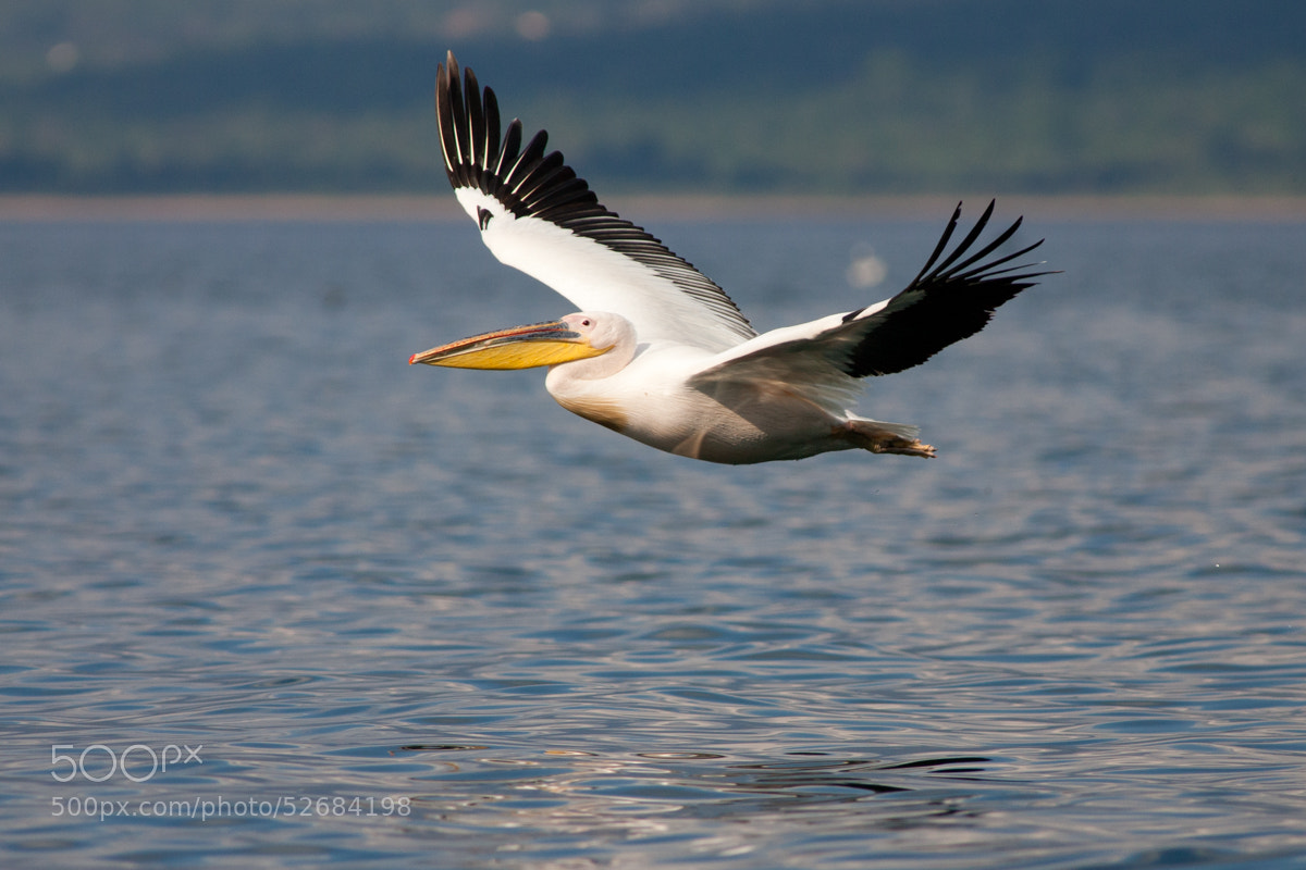 Photograph White pelican by Paolo Schlagenauf on 500px