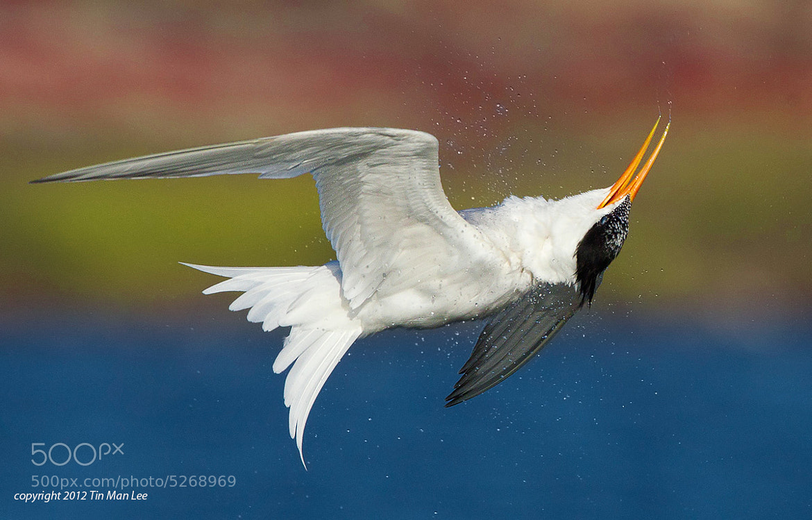 Photograph Tern Shaking in Mid Air by Tin Man on 500px